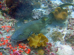 Brown-banded Bamboo Shark (14) (Petter Thorden) Tags: indonesia diving