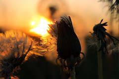 Beginning, Middle, End At Sunrise... (Diana Kae) Tags: life plant macro nature sunrise landscape golden stages dandelion beginning missouri end middle simple dianawhite dianaobryan dianakae