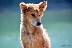 DSC_0579 (rachidH) Tags: nepal chien lake dogs nature puppies pokhara fewa phewa chiot strays rachidh chiensdesrues