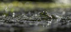 Grenouille verte (Tom Rop) Tags: grenouille frog verte green ranidae amphibien rainette animal nature bokeh canon 600d 300mm f4