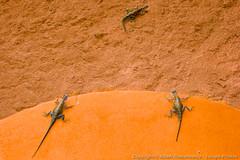 Several lizards (3scapePhotos) Tags: africa agama tanzania animal animals continent hotel lizard lizards lodge reptile safari serengeti several