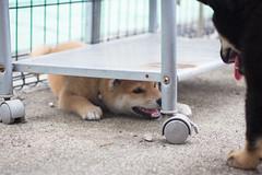 Yotsuba365 Day21 (Tetsuo41) Tags: dog shibainu yotsuba