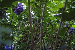 DP2Q3996lr (yoshitoshi ABe) Tags: flower sigma     dp2quattro 20160625