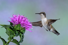 Ruby-throated Hummingbird (2016-06-27 ) (bechtelsf) Tags: nikon d810 nikon80400mm bird hummingbird rubythroated animals wildlife nature flower beebalm inflight flying wing purple