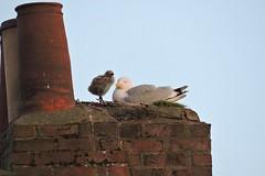 On top of the world (mike_j's photos) Tags: sea chimney bird nikon nest gull chick bridlington nesting p530