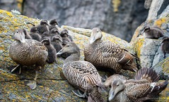 Safety Procedures (Maurizio Scotsman De Vita) Tags: natura group altarstanes animali cliffs uccelli pulli somateriamollissima rocks catchlight chicks stones resting scotland eider scogliere rocce sassi cliffsetting piccolibirds animals pietre birds nature edredone ariposo boulders eyelight gruppo massi riflessooculare scozia specularhighlight isleofmay