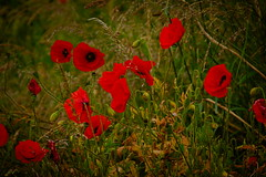 (vieubab) Tags: fleurs coquelicot plante ptale rouge champs calme extrieur sonyflickraward saveearth sony flowerbeauty campagne lumire nature unlimitedphotos
