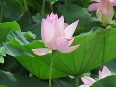 red in the green (oneroadlucky) Tags: pink plant flower nature waterlily lotus