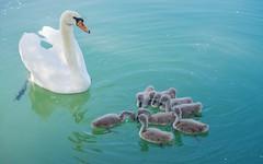 swan's family (20) (Vlado Ferenčić) Tags: birds animals lakes croatia swans animalplanet hrvatska nikkor8020028 nikond600 zaprešić swansfamily lakezajarki