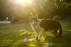 Meet Nutka (Wild cats pt. 2) (The-Foreigner) Tags: sunset sunlight green nature grass sunshine cat nikon kitten bokeh string nikond3200 d3200