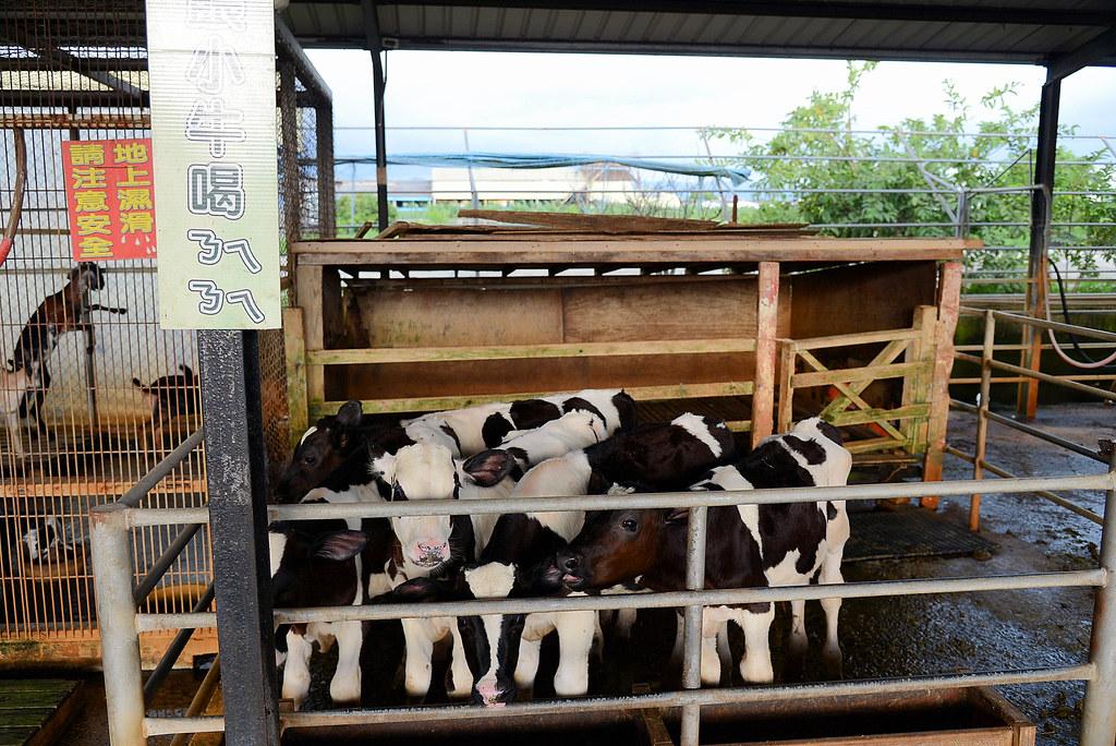 八老爺車站.乳牛的家