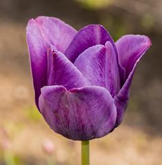 tulipan (waldemarjan) Tags: tulipan tulipa flower garden