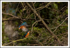 Woodland Fishers (seph.photography) Tags: woodland kingfisher fishers courtship alcedo atthis