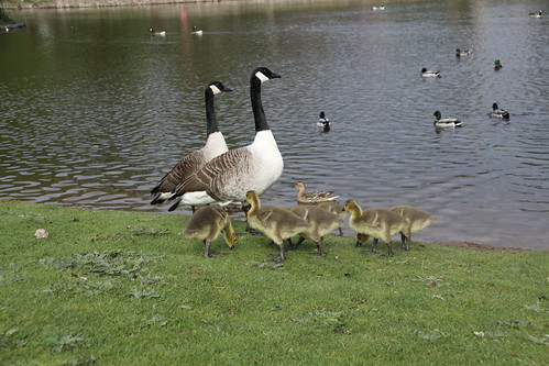 Pair of Canada Geese with 7 Goslings (9)