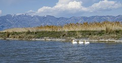 Pelicans (AnitaBurke1) Tags: lake mountains landscape three utah spring nikon pelican birdrefuge bearriverbirdrefuge d5100 anitaburke