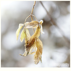 020 (imagepoetry) Tags: winter cold ice nature garden frost bokeh sony sigma leafes a65 imagepoetry sonyalpha