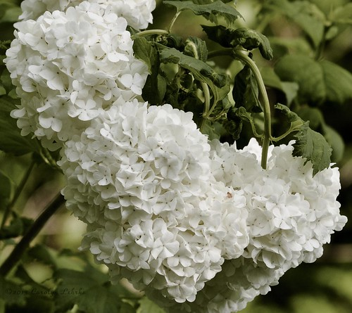 Snowball Viburnum Bush