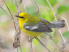 Paruline  ailes bleues / Blue-winged warbler (mitch099) Tags: ohio usa bird nature beauty spring beaut marsh migration printemps oiseau warbler magee ailes etatsunis bluewinged paruline bleues micheleamyot mitch099