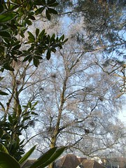 Magnolia grandiflora and Betula pendula with a layer of frost, 21 Beechwood Ave, 22nd Dec 2010 (jrcollman) Tags: plants gardens places magnolia archived magnoliagrandiflora betulapendula mplant importedtags bplant 21beechwoodave 21beechwoodgarden mumspicsto22nddec2010 frosticepatterns