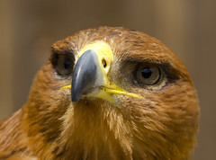 Tawny Eagle (malkv) Tags: bird nature canon eagle wildlife tawny 600d simplysuperb