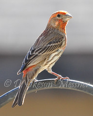 House  Finch (StoneSpeak) Tags: red orange birdwatching housefinch urbanbirds naturephotography birdphotography nikond90 sigma150500mm