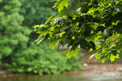 Summer rain (Yuri Bogdanoff) Tags: summer tree rain drops foliage