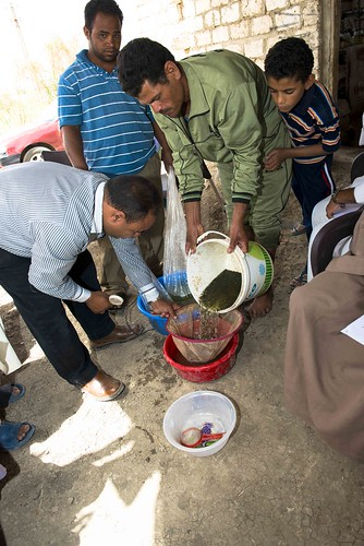 Transferring tilapia fry, Egypt. Photo by Heba El Begawi, 2013.