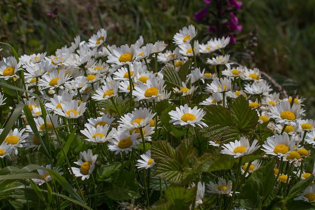 Pembrokeshire Daisies