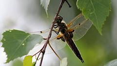 Vierfleck (oliver_hb) Tags: libelle insekten vierfleck segellibelle