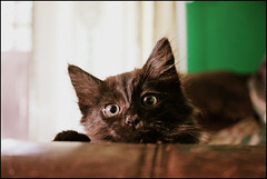 (K. Sawyer Photography) Tags: black kitten peekaboo couch foster tiny a1671661