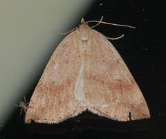 Moth, LMCH (Geographer Dave) Tags: moths lmch lake merwin campers hideaway clark county washington july 2013 bmna moth clarkcounty