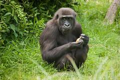 2013-07-07-14h42m12.272P7165 (A.J. Haverkamp) Tags: france zoo gorilla frankrijk khala dierentuin saintaignan westelijkelaaglandgorilla canonef100400mmf4556lisusmlens beaval httpwwwzoobeauvalcom dob03062007