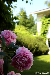 - (VisaStenvall) Tags: flowers summer house hot flower green colors grass canon espoo suomi finland eos is warm lawn sunny usm beautifull 6d f4l 24105mm mankkaa