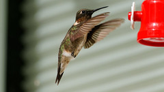 Male Ruby-throated Hummingbird (this is for the birds) Tags: hummingbird rubythroated rubythroatedhummingbird