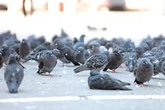 Pigeons (osamot) Tags: pigeons