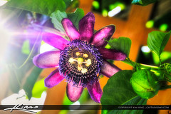Purple-Passion-Flower-Hanging-from-Vine (Captain Kimo) Tags: plant purple passiflora passionflower highdynamicrange photomatixpro tonemapping hdrphotography singleexposurehdr