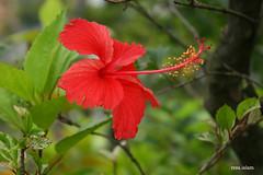Hibiscus (reza.islam) Tags: flower canon eos hibiscus joba bangladeshiflower 400d