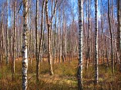 Lost (ambo333) Tags: uk trees england tree cumbria birch silverbirch sapling betulapendula