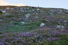 Van Rifugio Aosta via Prarayer naar Rifugio Nacamuli (Inklaar) Tags: flowers summer alps flower zomer bergen alpen alpi bloemen itali bloem valledaosta x100 iamnotabotanist 2013 perquis fujifilmx100 inklaar:see=all