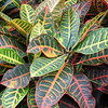 """Croton • <a style=""""font-size:0.8em;"""" href=""""http://www.flickr.com/photos/101656099@N05/9736797182/"""" target=""""_blank"""">View on Flickr</a>"""