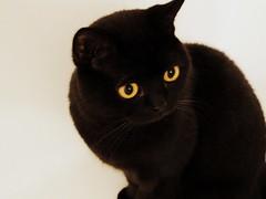 258/365 - 15/09/2013 (oana-emilia) Tags: black blackcat feline luna day258 aristocat day258365 3652013 365the2013edition 15sep13