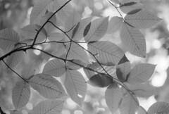 (Armin Schuhmann) Tags: 35mm film leaves bokeh analog branch agfaapx400 50mmnikkorkf14 nikony52dkyellow rodinal1100 bw dof sky abstract 2013 argentique analogue 50mmf14 scan filmscan schwarzweiss noiretblanc blackandwhite monochrome monochrom sw filmisnotdead analogic believeinfilm filmphotography manual focus selfdeveloped 50mm f14 nikkor prime normal nikkormat nikomat ft2 ai y52 yellow vintage old montreal quebec canada automn rodinal agfa apx400 apx 400asa leaf tree plant foliage texture ishootfilm filmphoto shootfilm buyfilmnotmegapixels analogo pelicula filme пленка longlivefilm northeast vintagecamera vintagelens