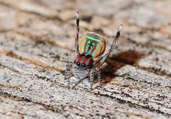 Maratus volans - male displaying to female (beeater) Tags: spiders spidermacro australiannature spiderphotography spidersofaustralia euophryinae stuartharrisphotography