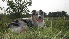 Australian Shepherd (adzamba) Tags: italy dog cane geotagged aussie australianshepherd lombardia bluemerle fiumeserio bariano geo:lat=4550638826 geo:lon=972401619
