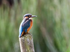 Kingfisher on post (donlanstone) Tags: bird post kingfisher