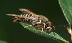 DSC_0471b (kempf_paul) Tags: macro nikon insects papillon tamron flou insectes petit libellule tamron90mm macrophotographie collembole d5200 nikond5200