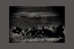 Four Ol' Boys on the Mara (Arati Kumar-Rao) Tags: africa kenya mara masaimara hyenas africanbuffaloes