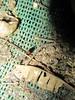 Insectos de mi casa (tarántulaschile) Tags: insectos escolopendra artrópodos