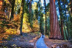 WHERE THE TALL TREES GROW (Aspenbreeze) Tags: california trees nature forest sequoia sequoianationalpark talltrees sequoiatree magnoliatrees aspenbreeze moonandbackphotography bevzuerlein
