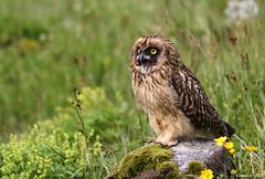 Brandugla (Asio flammeus) - Short-eared Owl (Elma_Ben) Tags: bird beautiful iceland fugl ísland shortearedowl asioflammeus beautifulbird canon400mmf56 brandugla canoneos7d canon7d birdsiniceland elmaben